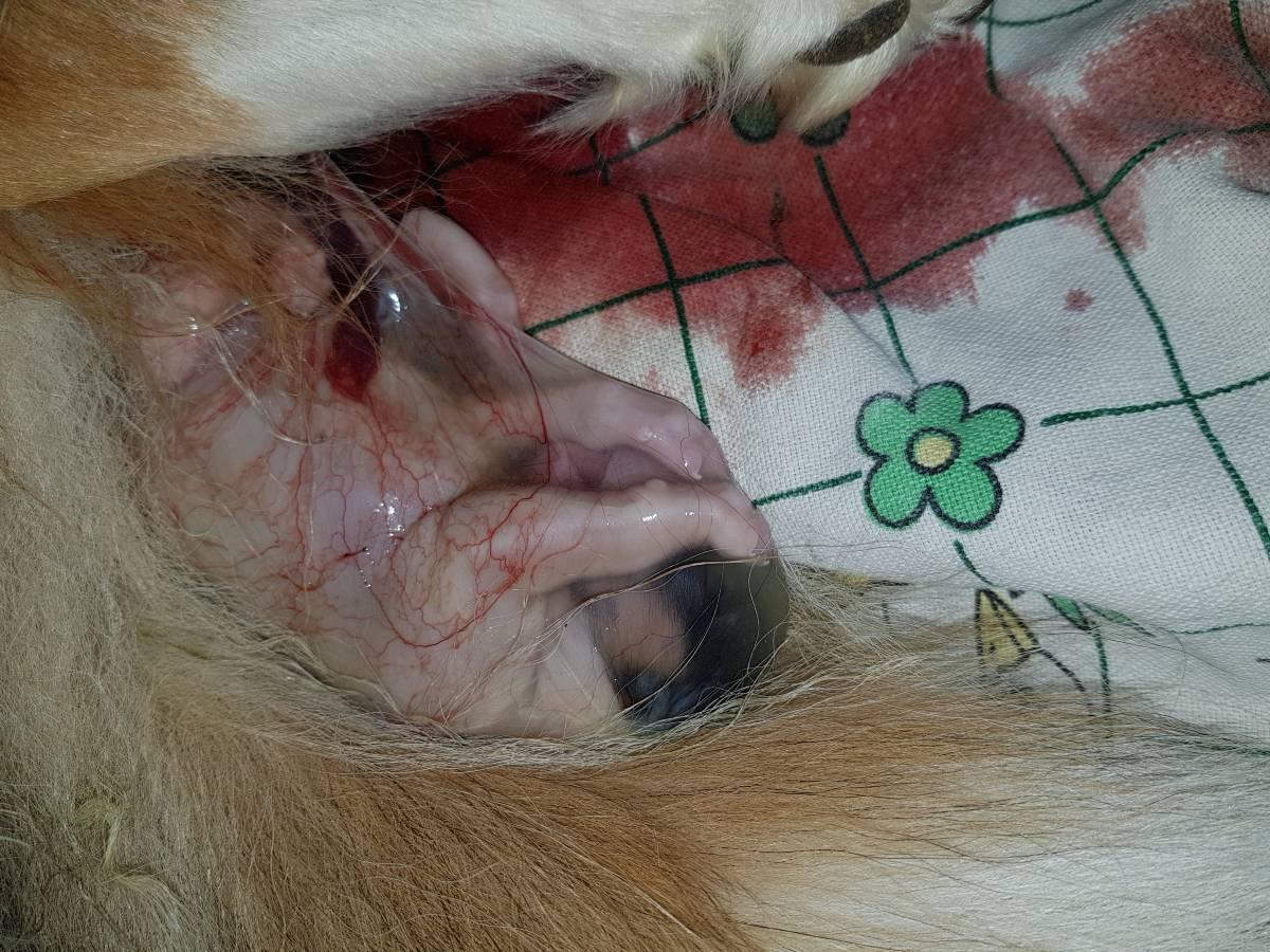 Achera Lions Collies - Das Wunder Geburt